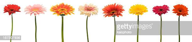 gerberas in a row (xxl) - gerbera daisy stock pictures, royalty-free photos & images