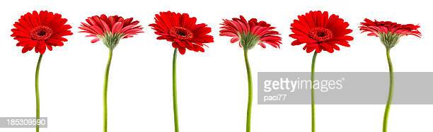 gerberas (with clipping path) - gerbera daisy stock pictures, royalty-free photos & images