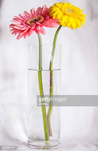 gerberas - annfrau stock photos and pictures