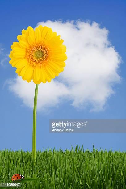 Gerber/daisy in grass