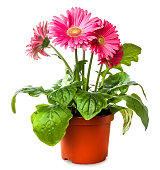 Gerber's flowers in  flowerpot isolated on a white background
