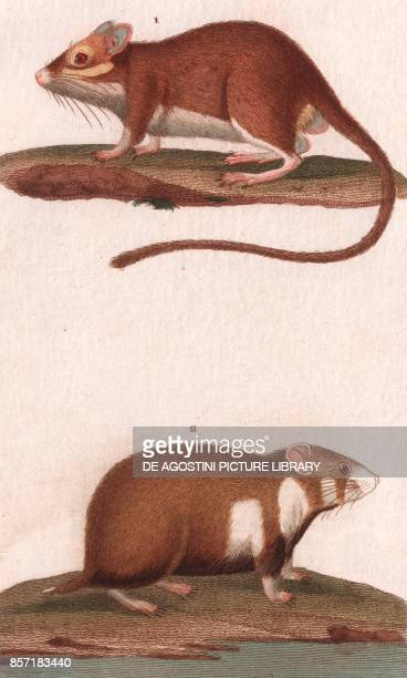 1 Gerbil 2 Hamster colour copper engraving retouched in watercolour 9x15 cm from Dizionario delle scienze naturali compilato da vari professori del...