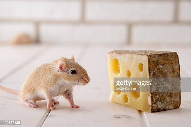 gerbil and cheese - gerbil stock pictures, royalty-free photos & images