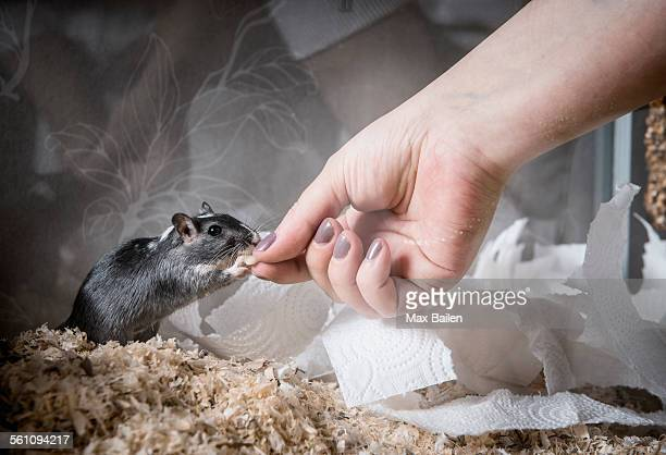 gerbil being fed by owner - gerbil - fotografias e filmes do acervo