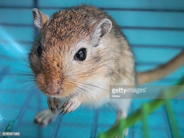 a gerbil in a cage - gerbil stock photos and pictures