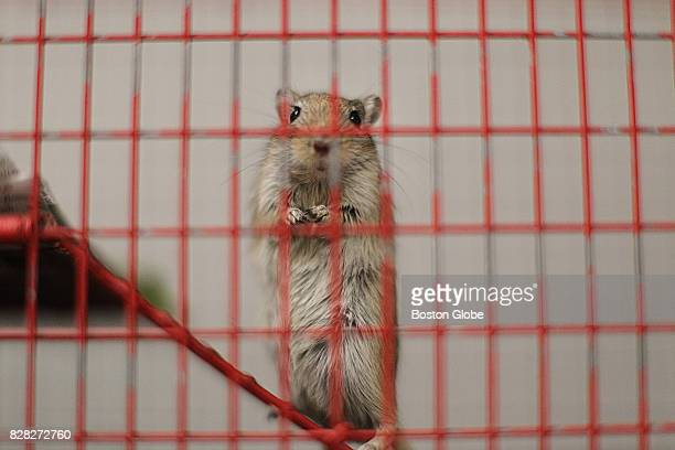 Gerbil looks out from a cage in the shelter of the MSPCA in Boston on Jun. 23, 2017. The MSPCA and others have sued the USDA after it removed...