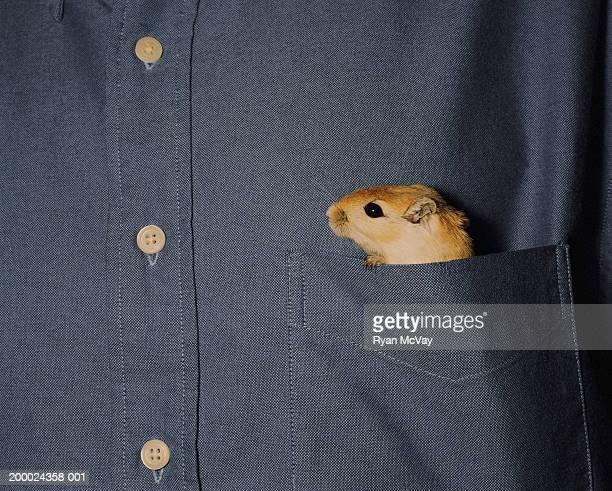 gerbil peeking out of man's shirt pocket, close-up - pocket stock pictures, royalty-free photos & images