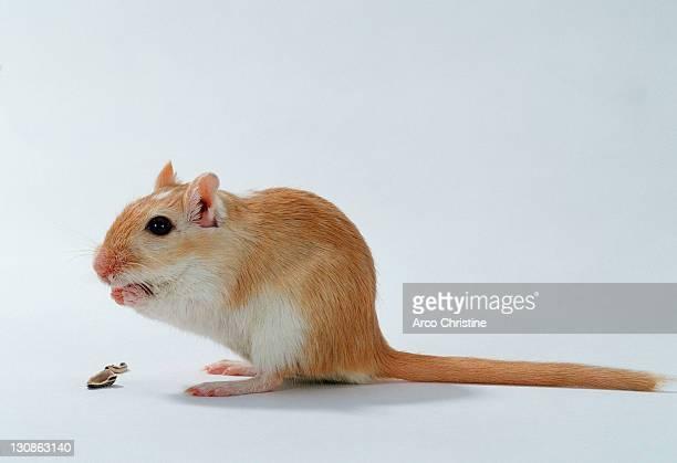 gerbil / (meriones unguiculatus) - gerbil stock photos and pictures