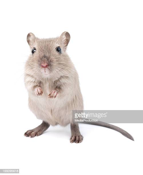 gerbil - cute mouse stock pictures, royalty-free photos & images