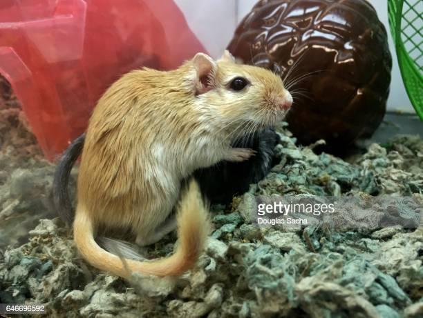 gerbil (gerbillinae) - gerbil stock photos and pictures