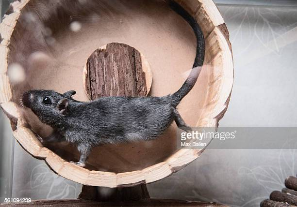 gerbil running on wooden wheel - gerbil - fotografias e filmes do acervo