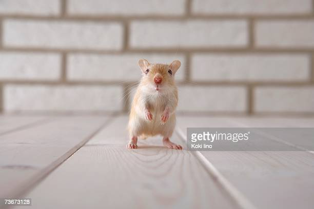 gerbil standing - gerbil stock pictures, royalty-free photos & images