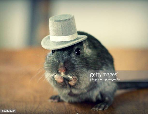 gerbil wearing a hat - gerbil stock pictures, royalty-free photos & images