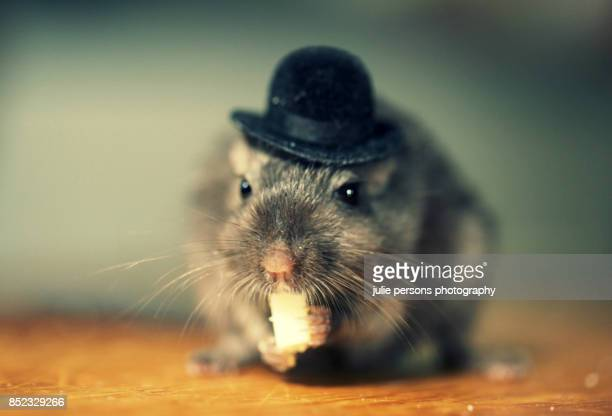 gerbil wearing a hat - gerbil stock photos and pictures