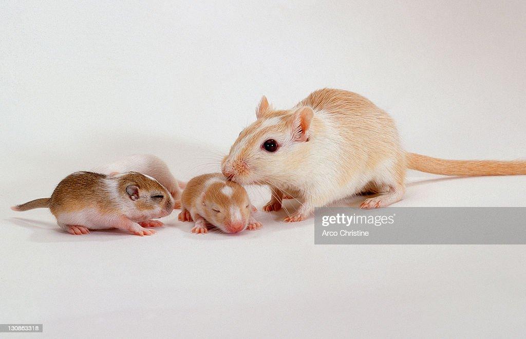 Gerbil with youngs / (Meriones unguiculatus) : Stock Photo