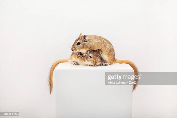 gerbils on seat against white background - gerbil stock pictures, royalty-free photos & images