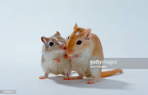 gerbils / (meriones unguiculatus) - gerbil stock photos and pictures