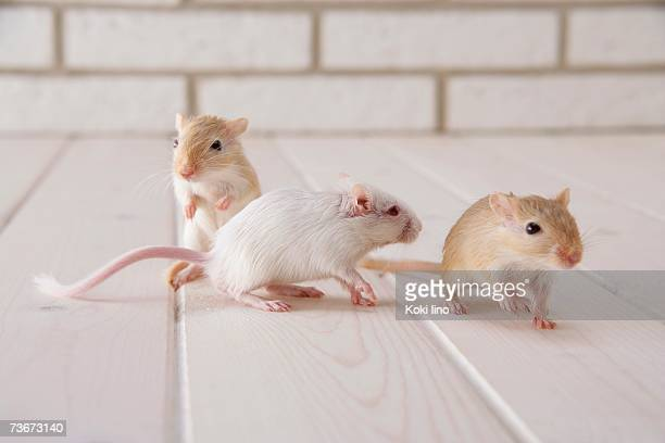 60 Top Gerbil Pictures, Photos, & Images - Getty Images