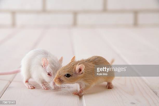 gerbils standing - gerbil stock pictures, royalty-free photos & images