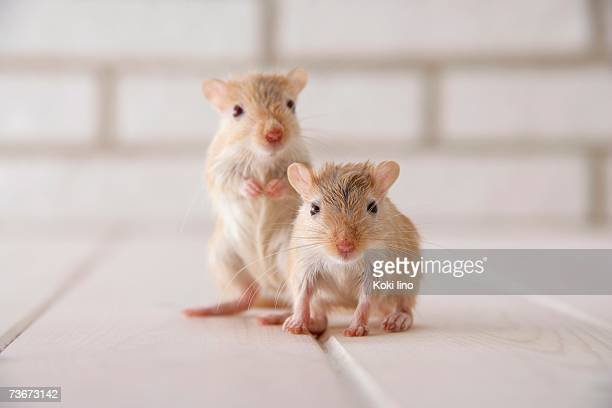 gerbils standing - cute mouse stock pictures, royalty-free photos & images