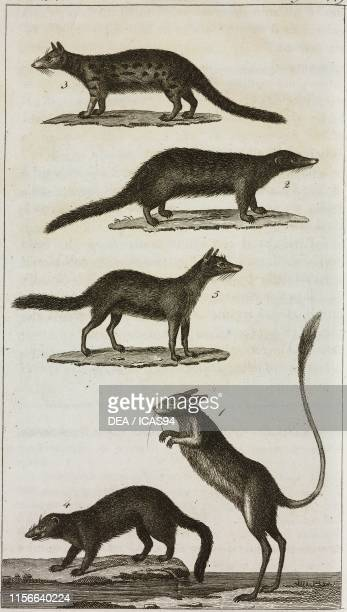 1 Gerbo 2 Mongoose 3 Malagasy Striped Civet or Fanaloka 4 Vansiro 5 Isati engraving by Giacomo Aliprandi from Le opere di Buffon by GeorgesLouis...