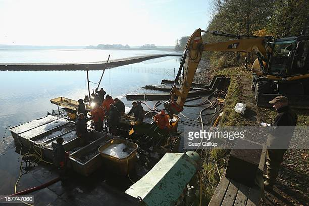Gerd Michaelis head of Peitzer Edelfisch fish farms watches as colleagues sort carp and other fish during the annual carp harvest at the fish ponds...