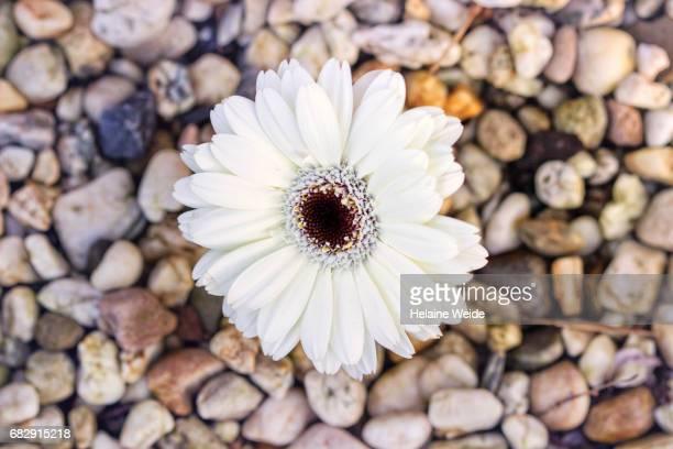 Gerebera flower