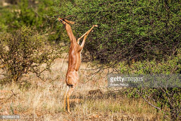 gerenuk (litocranius walleri) feeding on bushes in a forest, samburu national reserve, kenya - eastern african tribal culture stock photos and pictures