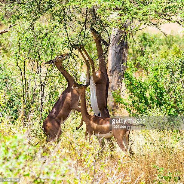 ジェレヌク(giraffe レイヨウ)(Litocranius walleri
