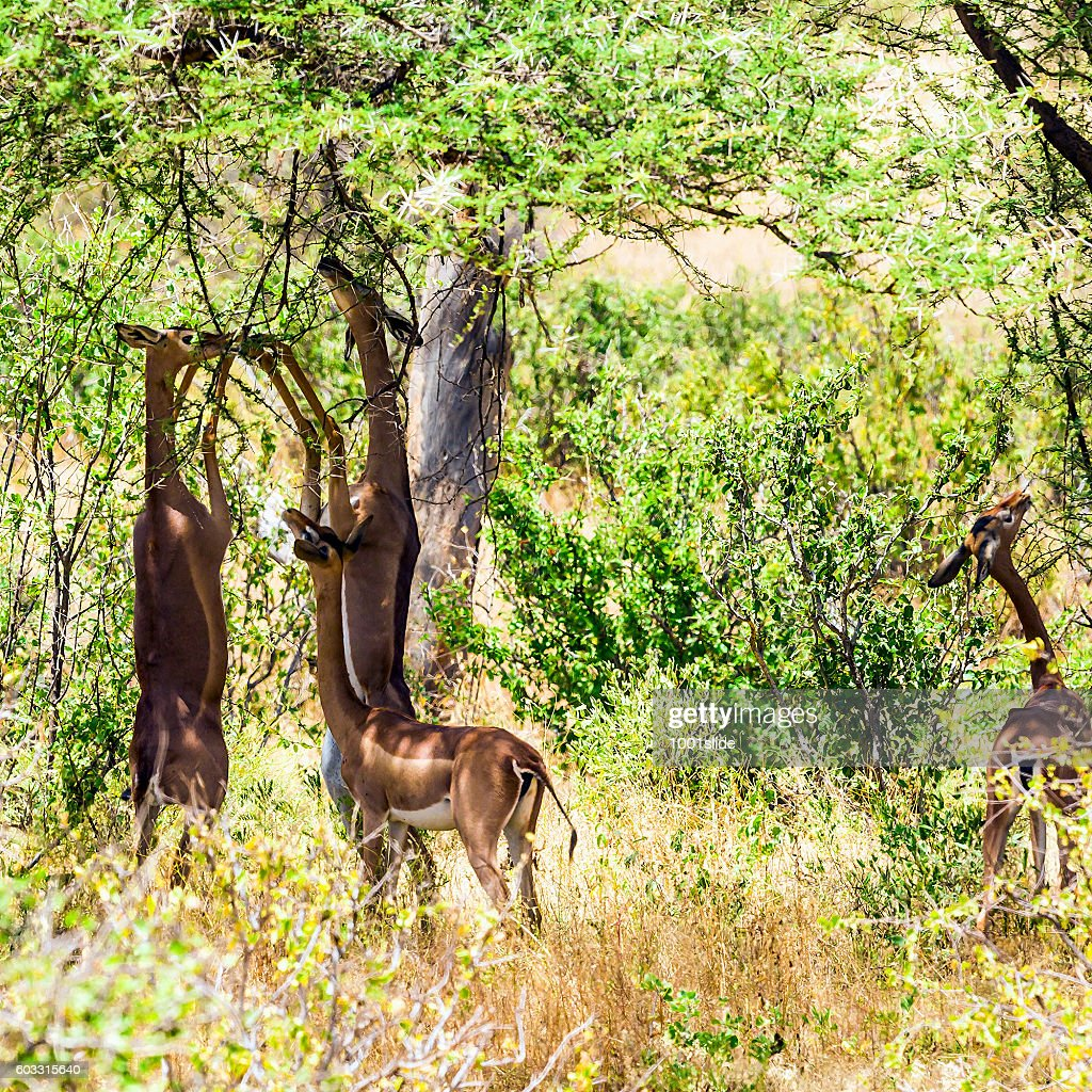 Gerenuk (giraffe antelope) (Litocranius walleri) : Stock Photo