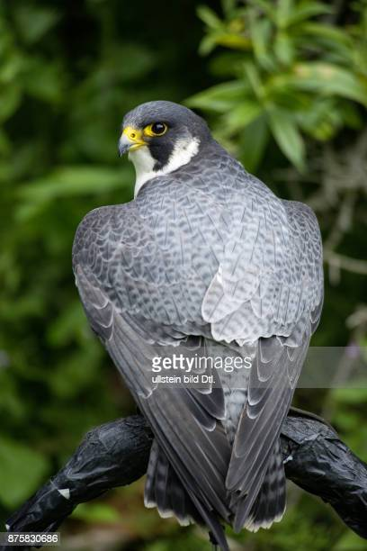 Gerfalke falke raubvogel Schottland Scotland Grossbritannien Great Britain