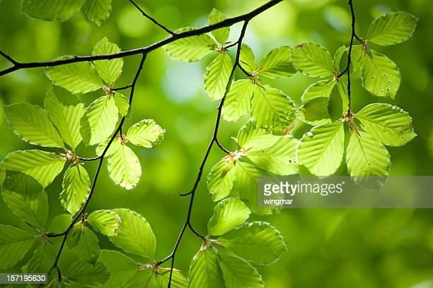 german beech tree - beech tree stock pictures, royalty-free photos & images