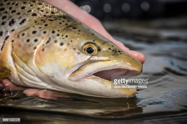 german brown trout in montanas madison river. - brown trout stock pictures, royalty-free photos & images