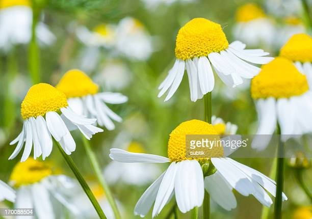 german chamomile - chamomile tea stock photos and pictures