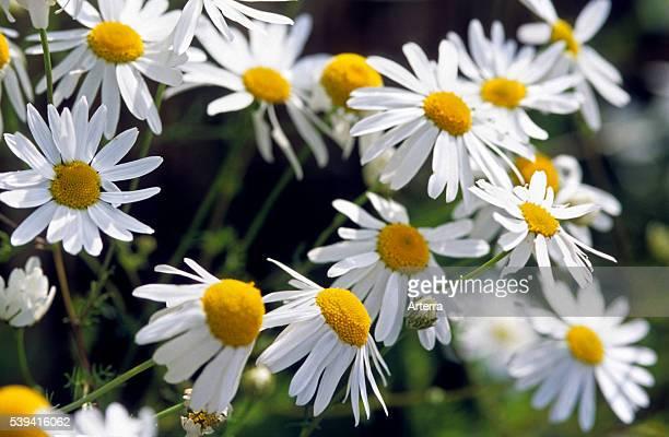 German chamomile / Wild chamomile in flower