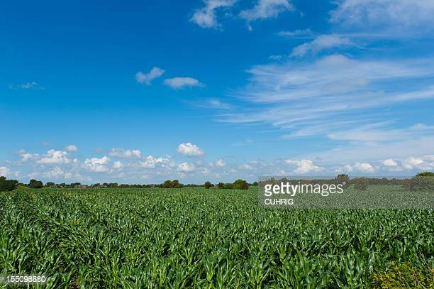 German Corn Fields and Sky