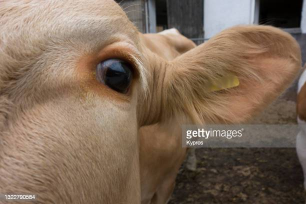 german dairy cattle - cow eyes stock pictures, royalty-free photos & images