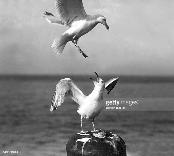German Empire Kingdom Prussia SchleswigHolstein Province Helgoland Quarelling seagulls 1934 Photographer Franz Schensky Published by 'Deutschland'...