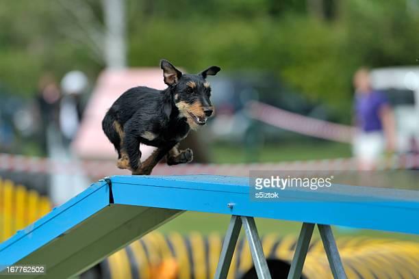 Deutsche Jagd-Terrier