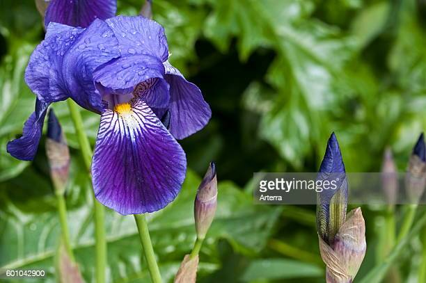 German Iris close up of flowers and buds
