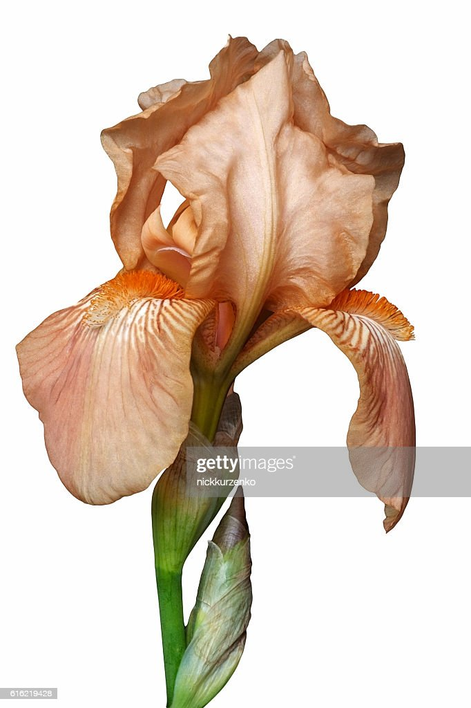 German iris flower : Stock Photo