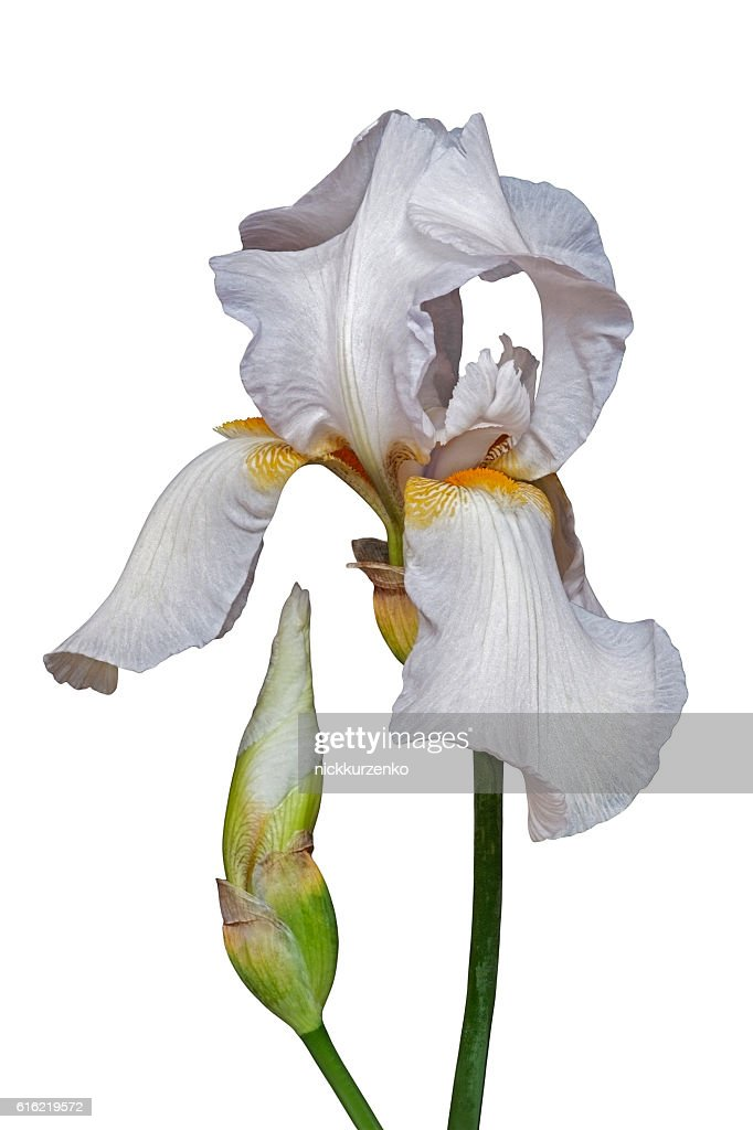 German iris flower : Stockfoto