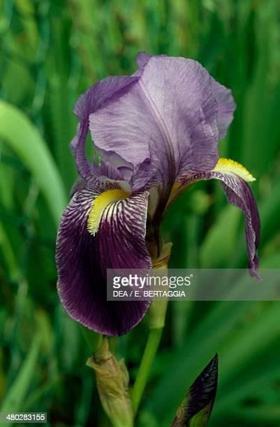 German Iris Iridaceae