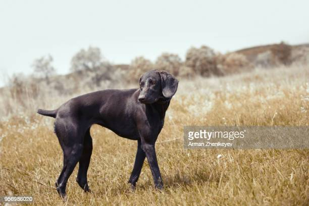 german pointer hunting in the steppe - german shorthaired pointer stock pictures, royalty-free photos & images