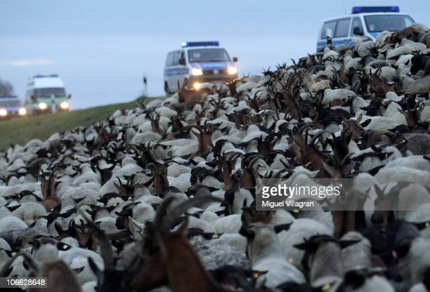 German police cars drive past herd of goats on the street leading towards Gorleben on November 8 2010 in Laase Germany Tens of thousands of...