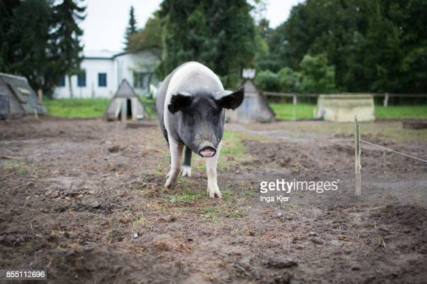 German Saddleback pigs in a free range organic farm on September 13 2017 in Berlin Germany