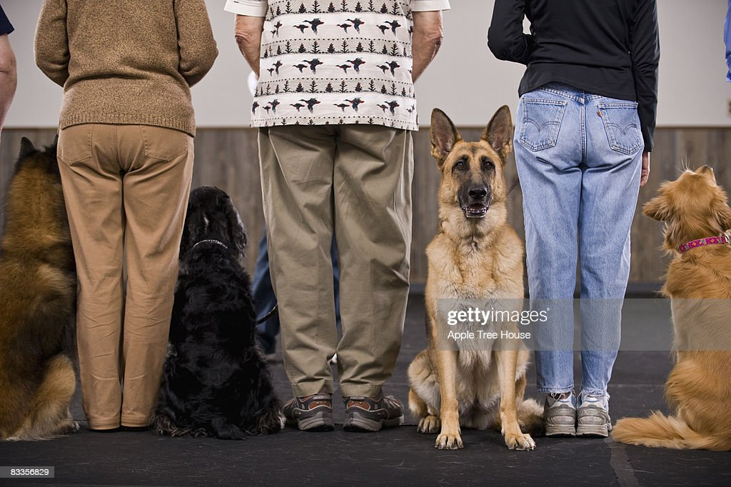 German Shepard standing out from crowd : Stock Photo