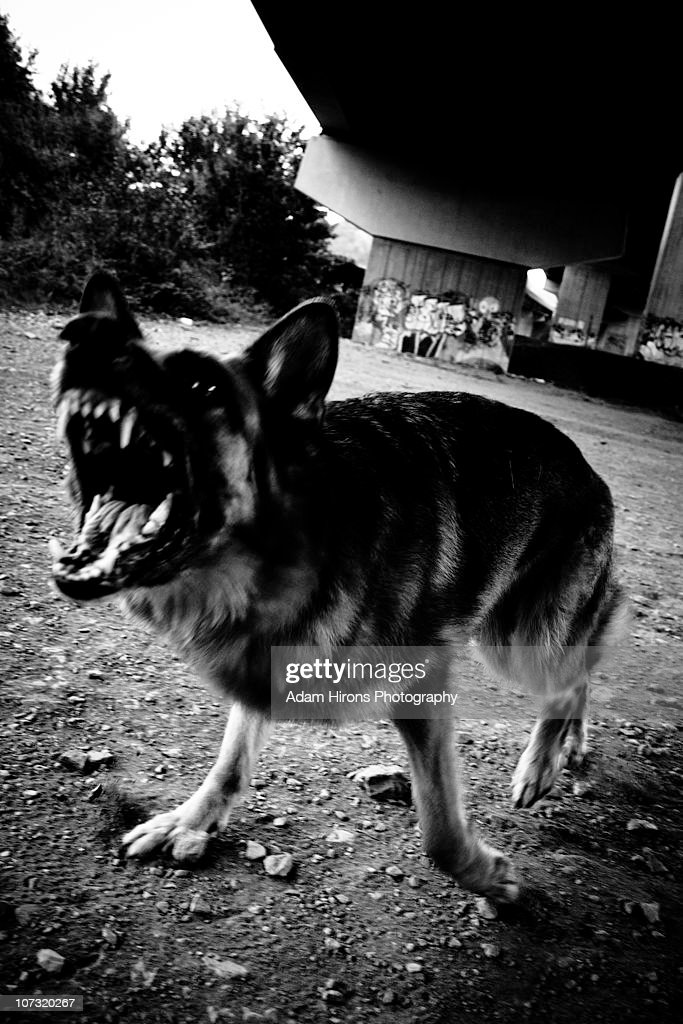 German Sheperd Barking Angry Attack : Stock Photo