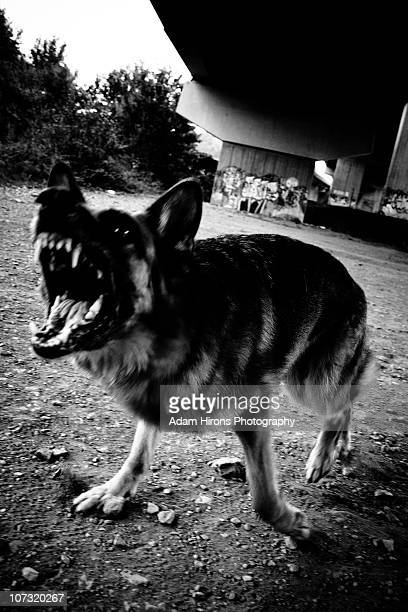 German Sheperd Barking Angry Attack