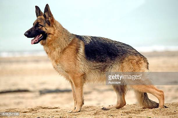 german shepherd stance german shepherd stock photos and pictures getty images 8771